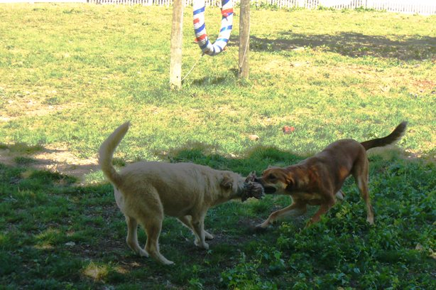 Tug-of-War in Dog Park
